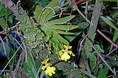 Orchid (Psygmorchis pusilla) in bloom, French Guyana