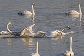 Whooper swan (Cygnus cygnus) chasing on water, Sanmenxia, Henan ptovince, China