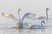 Whooper swan (Cygnus cygnus) displaying on water, Sanmenxia, Henan ptovince, China