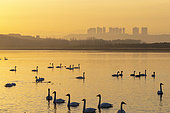 Whooper swan (Cygnus cygnus) on water at sunset, Sanmenxia, Henan ptovince, China