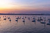 Whooper swan (Cygnus cygnus) on water at sunrise, Sanmenxia, Henan ptovince, China