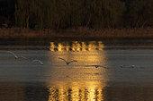 Whooper swan (Cygnus cygnus) in flight at sunrise, Sanmenxia, Henan ptovince, China