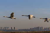 Whooper swan (Cygnus cygnus) in flight, Sanmenxia, Henan ptovince, China