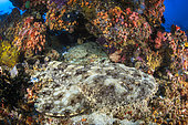 Tasselled wobbegong (Eucrossorhinus dasypogon) camouflaged on the background, Raja Ampat, Indonesia