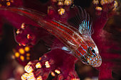 Tropical striped triplefin (Helcogramma striatum), Raja Ampat, Indonesia