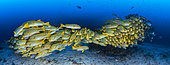 School of Cape Kri Sweetlips, Raja Ampat, Indonesia