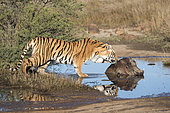 Asian (Bengal) Tiger (Panthera tigris tigris), adult female with a wharthog, Private reserve, South Africa