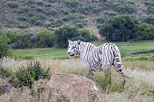 Asian (Bengal) Tiger (Panthera tigris tigris), White tiger, adult female, Private reserve, South Africa