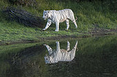 Asian (Bengal) Tiger (Panthera tigris tigris), White tiger, adult female walking in a swamp, Private reserve, South Africa