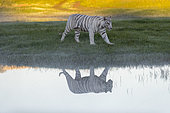 Asian (Bengal) Tiger (Panthera tigris tigris), White tiger, adult female near by a swamp, Private reserve, South Africa