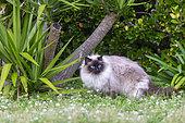 Domestic cat, No purebred, A little Siamese, Looks like a Burmese cat, Finistère, France
