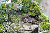 Eurasian wren (Troglodytes troglodytes), grove, Rouesse Vasse, Sarthe, Pays de la Loire, France