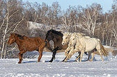 Horses in a meadow covered by snow, Zhangjiakou, Bashang Grassland, Hebei Province, Inner Mongolia, China