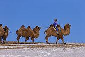 Mongol driving a camel caravan of Bactrian camel (Camelus bactrianus), Bashang Grassland, Zhangjiakou, Hebei Province, Inner Mongolia, China