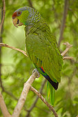 Lilac-crowned Parrot (Amazona finschi) - Mexico - Inhabits tropical deciduous forest