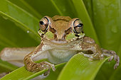 Mexican Tree Frog (Smilisca baudinii) Alamos - Sonora - Mexico - Only found in warm tropical locations