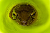 Mexican Tree Frog (Smilisca baudinii)o - Only found in warm tropical locations