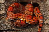 Corn Snake (Elaphe guttata guttata) - Captive - USA