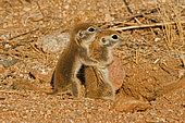 Roundtail Ground Squirrel Young (Citellus tereticaudus) - Arizona - Found in parts of Nevada-California and Arizona extending down into NW Mexico - Lives in low desert-mesquite-creosote bush and cactus - Above ground most of the year - Feeds on seeds and probably insects