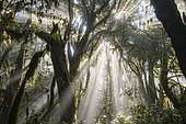 Sunrays in the cloud forest, Garajonay National Park, La Gomera, Canary Islands, Spain, Europe