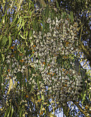 Monarch Butterflies (Danaus plexippus) overwintering in a eucalyptus grove, Ellwood, California.