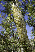 Bursera microphylla is a North American species of tree in the frankincense family in the soapwood order. It is found in the southwestern United States and Northwestern Mexico.