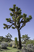 Joshua Tree (Yucca brevifolia) is a plant species, tree-like in habit, which is found in the southwestern United States in the Mojave Desert.