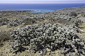 Cholla (Cylindropuntia sp), Ile Natividad, Baja California, Mexique.