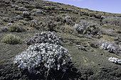 Eriogonum pondii is a member of the Buckwheat genus found on Natividad Island, Baja California, Mexico.