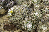 Mammillaria neopalmeri is found on only two islands of the Baja California Pacific coast, San Benito and Gadalupe Islands.