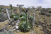 Cedros Island Agave (Agave sebastiana), is found on several of the Pacific coastal islands of Baja California, Mexico.