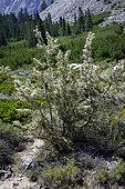 Curl-leaf Mountain Mahogany (Cerocarpus ledifolius var. intermontanus), north fork Big Pine Creek, Inyo County, California.