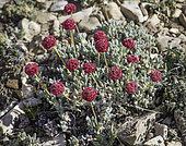 Oval-leaved Buckwheat (Eriogonum ovalifolium), Mammoth Mountain, Mono County, California.
