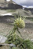 Alpine Thistle (Cirsium scopulorum), Mosquito Pass, Colorado.