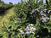 Blueberry Orchard, Washington state.