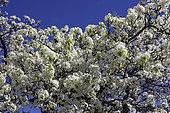 Evergreen Pear in bloom (Pyrus kawakamii), Californie