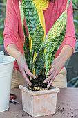 Potting a Sansevieria (Sansevieria masoniana) step by step. 3: install the root ball