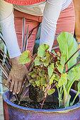Femme composant une potée de feuillages exotiques sur une terrasse. Placement d'un Bégonia (Begonia sp).