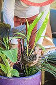 Femme composant une potée de feuillages exotiques sur une terrasse. Placement d'une Herbe palmier (Setaria palmifolia)