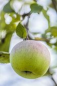 Portrait of Apple 'Jincoa Sagarra', alias 'Apple god', Basque variety