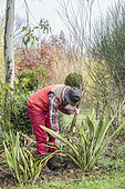 Man cleaning the foliage of New Zealand flax (Phormium tenax) in winter.
