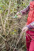 Size of an European cranberrybush (Viburnum opulus) in stem, in winter: shortening of the disordered stems