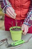 Mock-orange (Philadelphus sp) cuttings in winter (stem section cuttings)