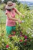 Woman pruning a hedge of multiflora rose (Rosa multiflora) in spring.