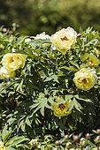 Portrait de Pivoine arbustive (Paeonia suffruticosa) 'High Noon'