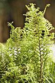 Male fern (Dryopteris filix-mas) 'Cristata', fern with curly foliage
