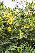 Portrait de Pivoine arbustive jaune (Paeonia lutea subsp lutea)