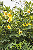 Portrait of Yellow Shrub Peony (Paeonia lutea subsp lutea)