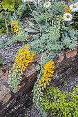 Portrait of Chilean nasturtium (Tropaeolum polyphyllum)