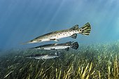 Florida Bone Pike (Lepisosteus platyrhincus), three, swimming over underwater plants, Rainbow River, Rainbow Springs State Park, Dunnelon, Florida, USA, North America